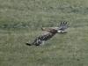 [:ru]Степной орёл[:en]Steppe Eagle