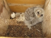 Nestling of the Ural Owl