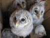 Nestlings of the Ural Owl