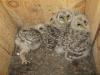 Nestlings of the Ural Owl