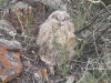 Nestling of the Eagle Owl