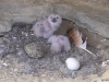 Nestlings of the Eagle Owl