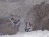 Nestlings of the Eagle Owl