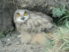 Nestling of the Eagle Owl