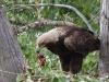 орел-могильник