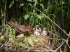самка луня лугового кормит птнецов