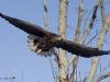 орлан-белохвост возрастом 4 года