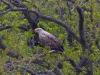 орлан-белохвост на гнезде