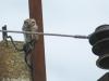 Домовой сыч на птицеопасной ЛЭП