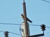 Канюк на птицеопасной ЛЭП