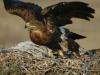 Steppe Eagle (Aquila nipalensis)