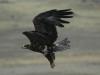 Степной орёл (Aquila nipalensis)