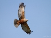 Male Marsh-Harrier
