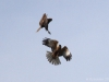 Male and female Marsh-Harrier