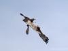 Male and female Marsh-Harrier