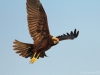 Female Marsh-Harrier