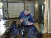 Cleaning White-Tailed Eagle from oil