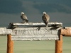 Adult and immature of the Saker Falcon
