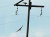 Saker Falcon and Upland Buzzard