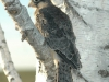 Nestling of the Amur Falcon