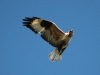 Upland Buzzard with ring