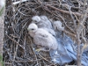 Nestlings of the Upland Buzzard