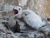 Nestlings of the Saker Falcon