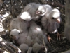 Nestlings of the Kestrel