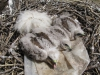 Nestling of the Upland Buzzard