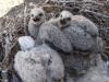 Nestling of the Upland Buzzard