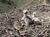 Птенцы мохноногого курганника