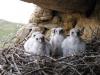 Nestlings of the Saker Falcon