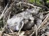 Птенцы амурского кобчика