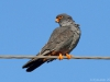 Male Red-footed Falcon