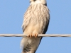 A first-year Red-footed Falcon