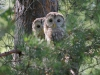 Ural Owl chicks leave the nest