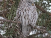The Ural Owl