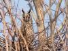 Ушастая сова на гнезде