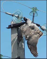 Птицы и ЛЭП 2009 в Алтае