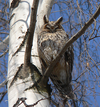 Ушастая сова. Фото С. Бакки.
