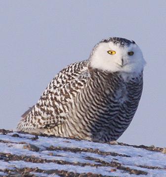 Белая сова. Фото А. Коваленко.