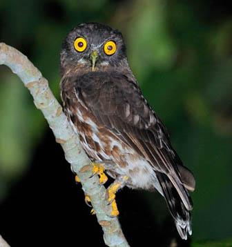 Иглоногая сова. Фото В. Цу-Ши.