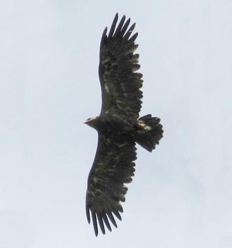 Степной орёл. Фото И. Карякина.