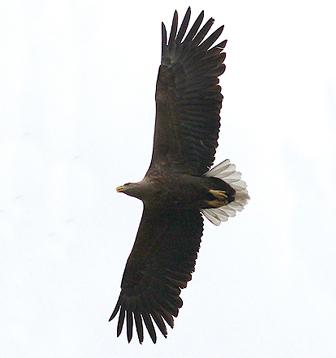 Орлан-белохвост. Фото С. Адамова.