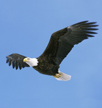 Белоголовый орлан. Фото Е. Потапова.
