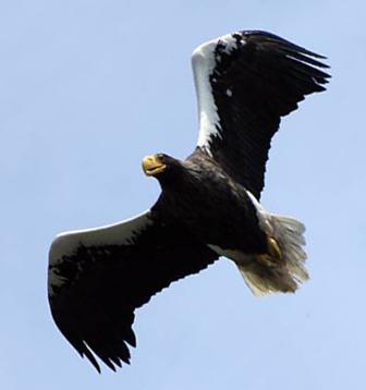 Белоплечий орлан. Фото Е. Потапова.