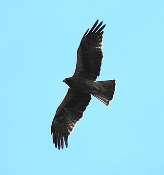 Тёмный орёл-карлик. Фото И. Карякина.