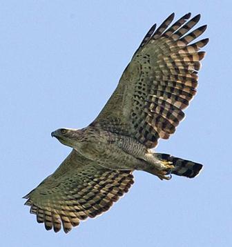 Хохлатый орёл. фото Л. Кии.