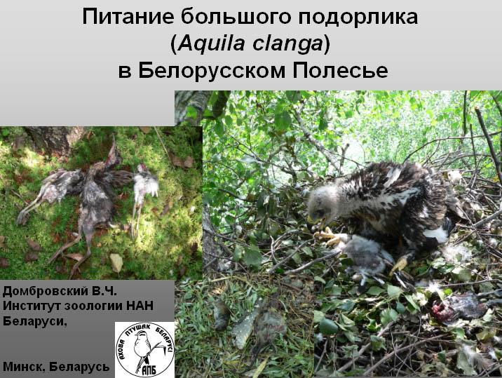 Большой подорлик в Беларусии