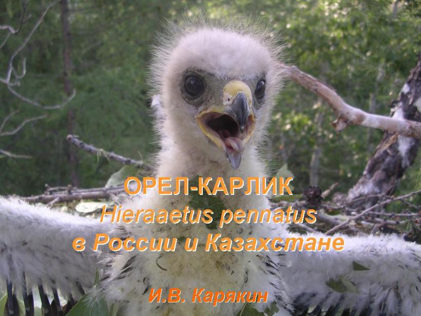 Орёл-карлик в России и Казахстане